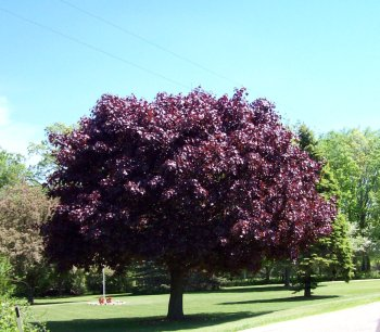 Large and beautiful tree with purplr leaves