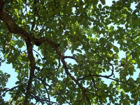 Looking up to see tree leaves and branches