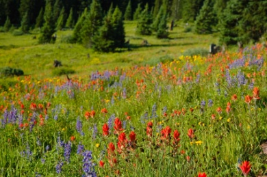 Colorful meadow with pine trees