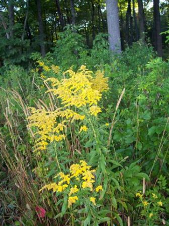 Yellow wild flowers next to a forest